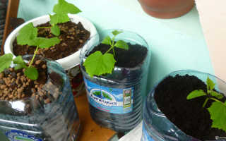 Выращиваем огурцы на балконе в пластиковых бутылках своими руками