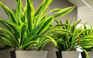 Драцена деремская: описание растения, правила ухода в домашних условиях, размножение