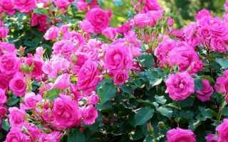 Вредители, заболевания и другие проблемы при выращивании роз