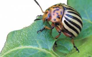 4 способа избавления огорода от колорадского жука без использования химикатов