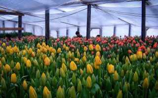 Как вырастить тюльпаны на 8 Марта?