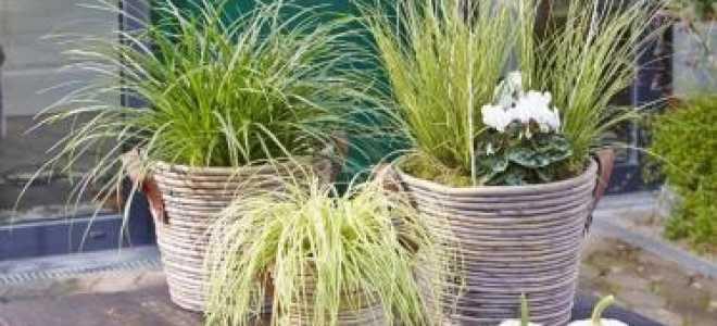 Декоративные злаки и травы в осеннем саду