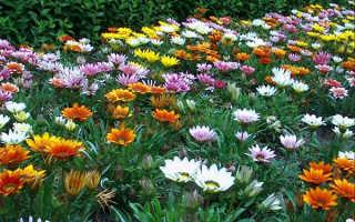 Газанья на участке — так ли сложна посадка, уход и размножение цветка?