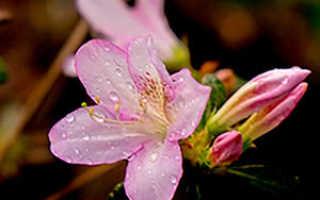 Домашний уход за цветком азалией