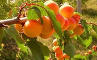 Как вырастить абрикос из косточки и что с ним делать дальше