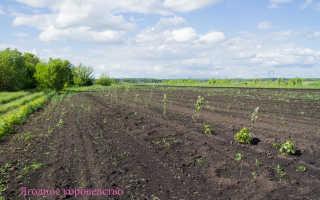 Выращивание малины. Интересная технология выращивания малины