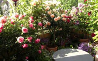 Выращиваем розы на собственном балконе!