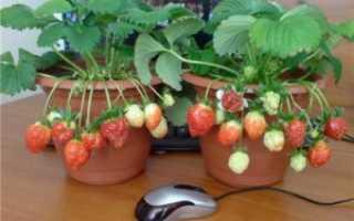 Как вырастить клубнику дома на подоконнике