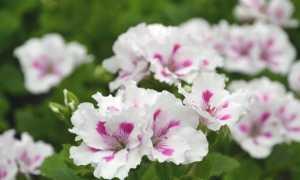 Белые пеларгонии: сорта и их выращивание