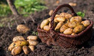 Как вырастить хорошую раннюю картошку?