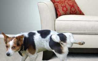 Как вывести запах собачьей мочи с дивана и отмыть пятна, если собака написала: возможно ли убрать народными средствами в
