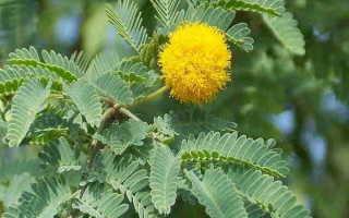 Акация — описание дерева, где растет и как выглядит